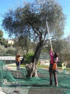 Gaulage des olives par les cueilleurs solidaires